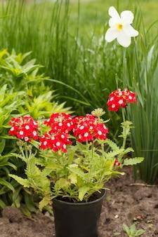 빨간 버베나는 정원에 있는 플라스틱 화분에 핀다.