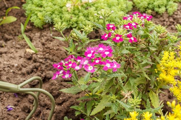 정원에 붉은 버베나 꽃이 피었습니다. 버베나 꽃과 배경에 푸른 잔디가 있는 손 갈퀴. 아름다운 꽃이 만발한 버베나.