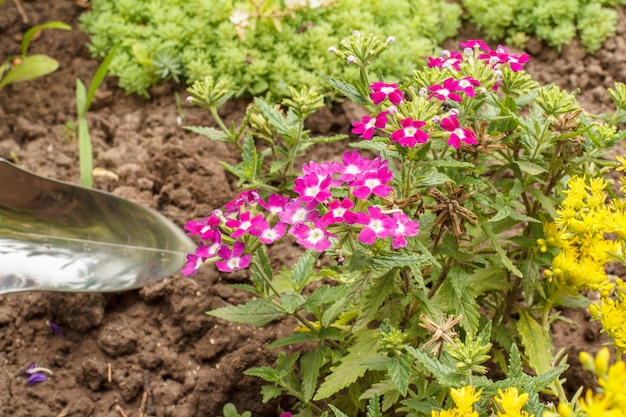 정원에 붉은 버베나 꽃이 피었습니다. 버베나 꽃과 배경에 푸른 잔디가 있는 삽. 아름다운 꽃이 만발한 버베나.