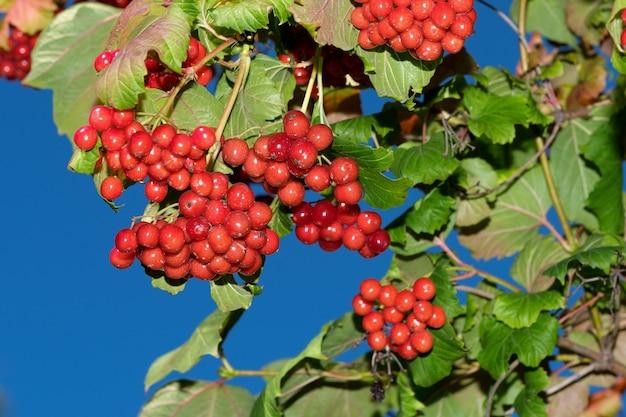 晴れた夏の日のクローズアップの枝にクラスター状の赤いガマズミ属の果実