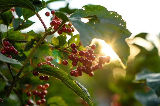 庭の枝に赤いガマズミ属の木の果実