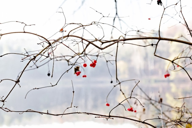Red viburnum berries on a tree