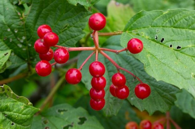 나뭇가지에 이슬이 맺힌 붉은 가막살나무 열매 신선한 열매는 약에서 설사약으로 사용됩니다...