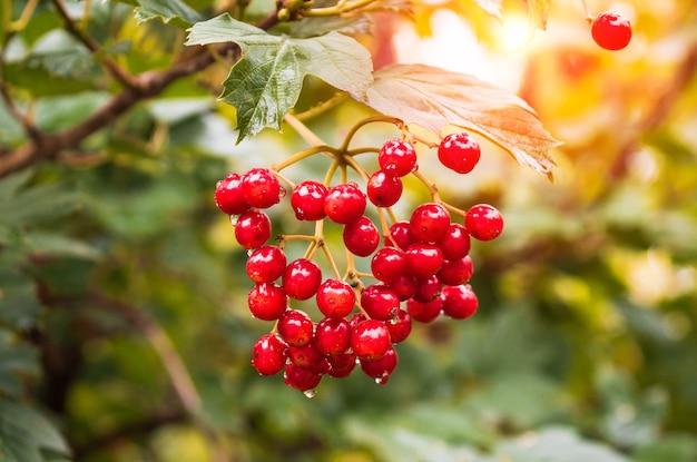 庭の赤いガマズミの枝は暖かい夏の日に熟します