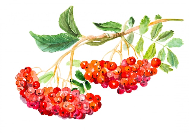 Red viburnum opulus, common name guelder-rose, branch with leaves and berries, medicinal plant