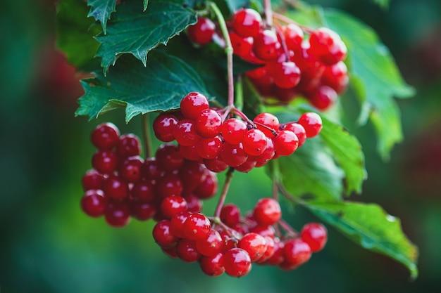 Красная калина или ягоды на кусте