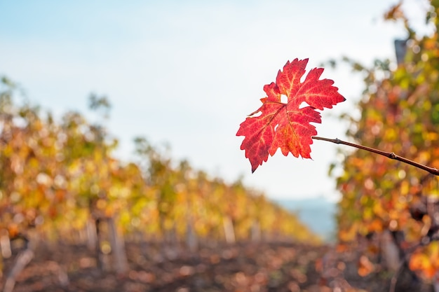 Red vine leaf close up in the vineyard