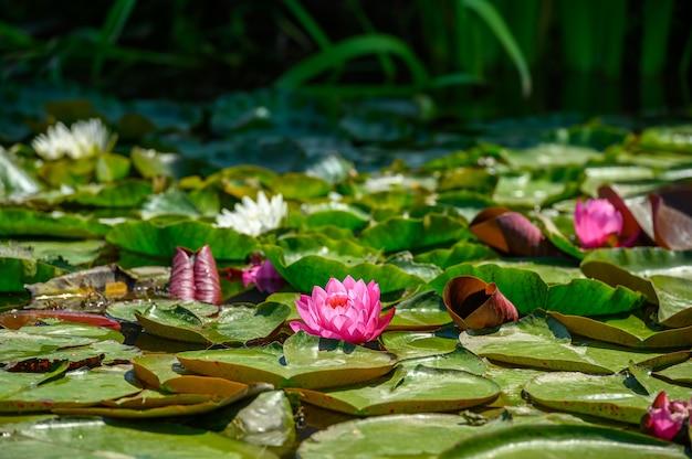 Кувшинка красная aka nymphaea alba f. роза в озере