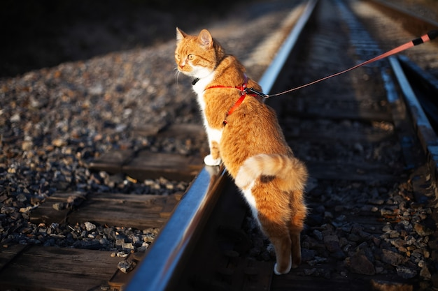 Red white cat for the first time on railway.