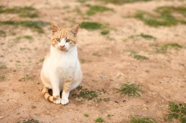 Red and white cat outdoors on sunny summer day