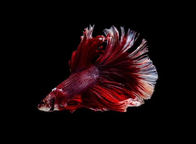 Red and white half moon fish (siamese fighting fish) on black background