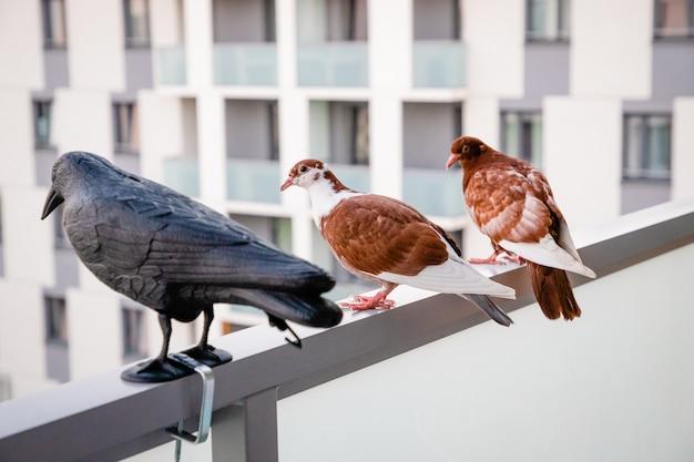 黒いプラスチックのカラスの近くに座っている赤白の鳩