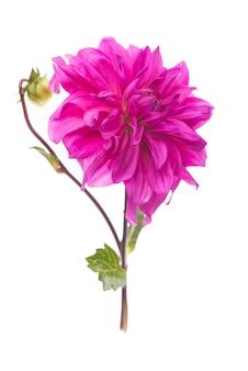 赤、白、黄色のダリアはカラフルな表面を8月に。多色のダリアの花の眺め。緑の表面に美しいダリアの花。夏の花はキク科の植物の属です