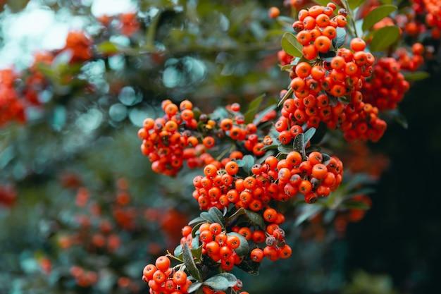 Красные лесные ягоды в ветвях с зеленым фоном