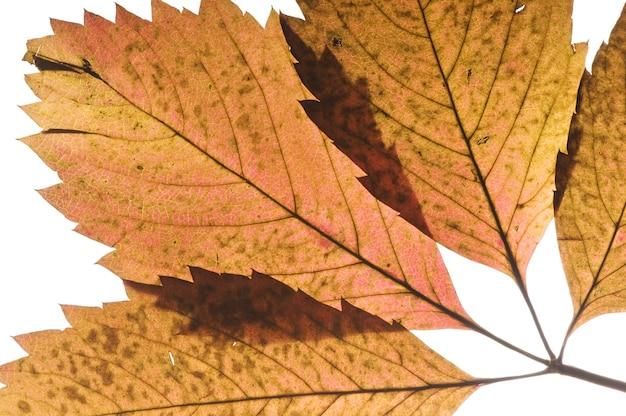 白で隔離赤い野生ブドウ秋の葉