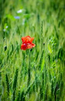밀밭에 붉은 야생 양 귀 비
