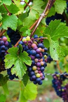 Красное вино виноград на лозе крупным планом