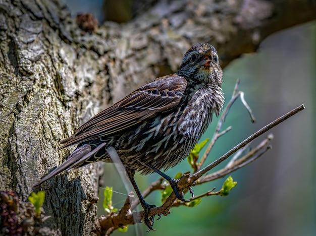 붉은 날개 검은 새 (agelaius phoeniceus)