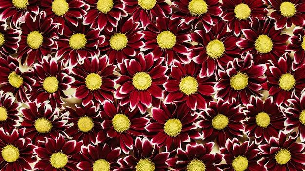 Красный с желтыми хризантемами. цветочный фон