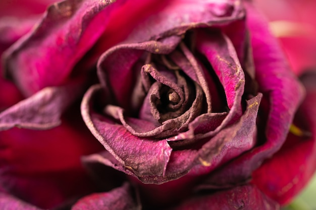 Красный увядая старый сухой конец-вверх бутона розы.