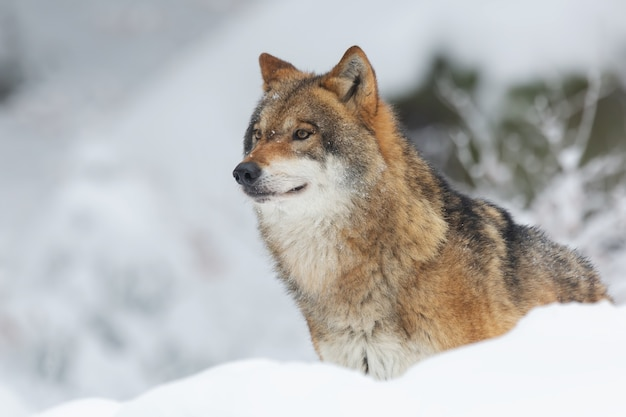 Красный волк в лесу, покрытом снегом и деревьями