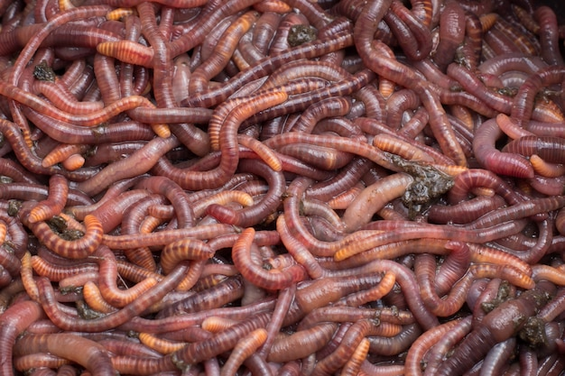 Red worms in a can