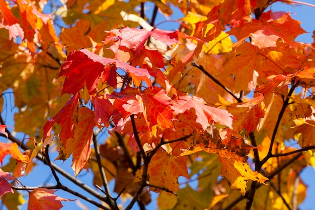 Red and yellow foliage on the branches top of the maple in the autumn season