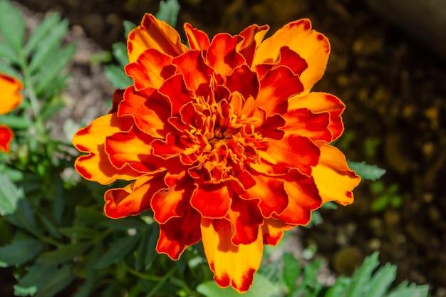 夏の庭に赤黄色のフレンチマリーゴールドまたはタゲテスパチュラの花。