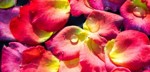 Красно-желтые лепестки роз на концепции водной ароматерапии и спа