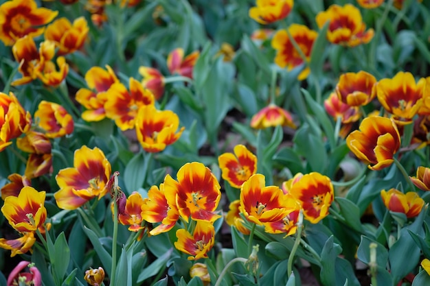 Red and yellow tulips under the bright spring sun with green leaves as background