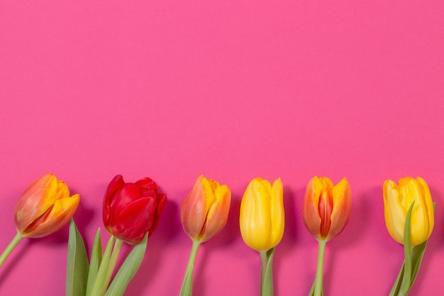 Red and yellow tulips on pink background