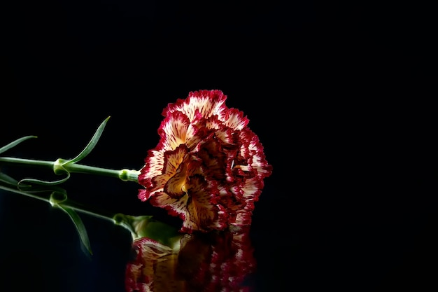 Red and yellow variegated carnation on a black surface with reflection