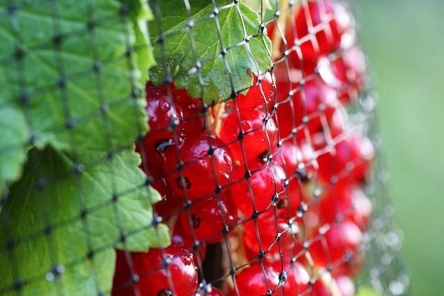 덤불에 붉은 건포도