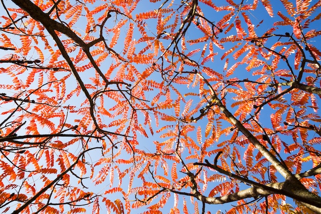 Reddened leaves of trees in autumn, beautiful autumn nature in sunny weather, bright photography and trees