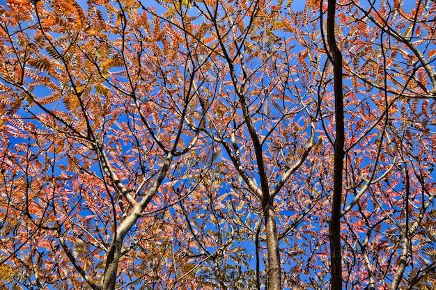 Reddened leaves of trees in autumn