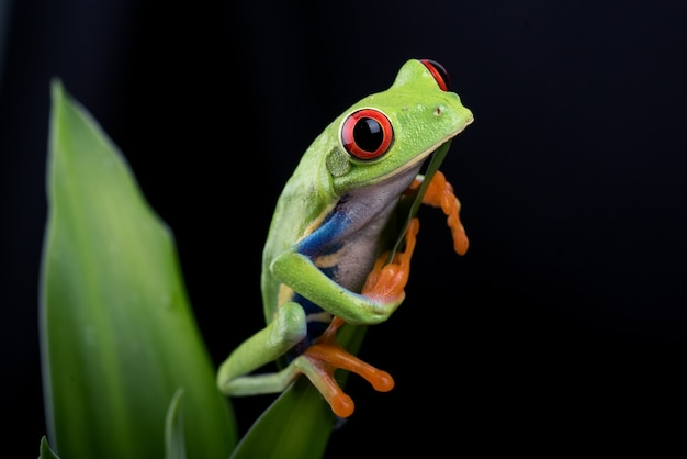 Redeyed tree frog hanging on a tree
