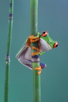 대나무 막대기에 redeyed 청개구리