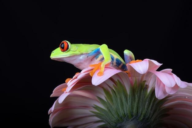 Redeyed tree frog perched on chrysanthemum flower