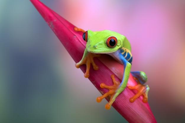 Красноватая древесная лягушка сидит на цветке