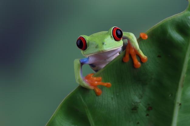 녹색 잎에 앉아 redeyed 청개구리