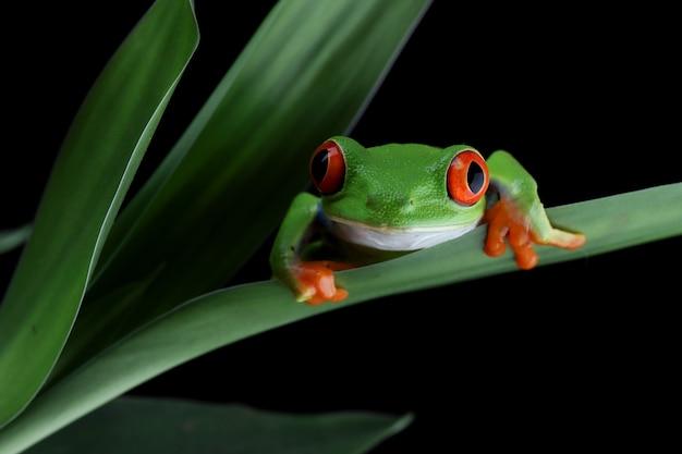 緑の葉の上に座っている贖われたアマガエル