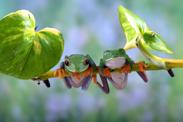 Redeyed tree frogs hanging on the root of the tree