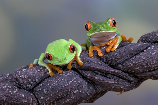 Краснокрашенные древесные лягушки на ветке дерева