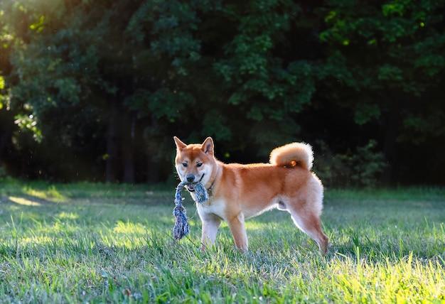 おもちゃを口にした赤毛の犬