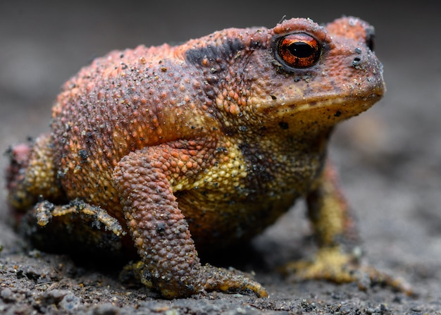 Redish common toad in a cave