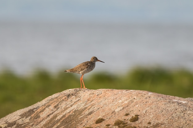 Redshank sitting on a rock in its natural breeding habitat, with soft