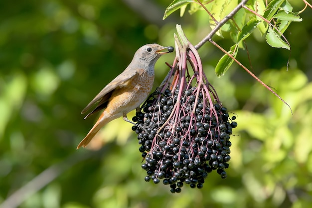 Redstart sits on a large bundle of elderberry berries and holds a berry in its beak