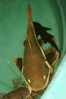 Redtail catfish  tank