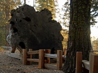 Redwood cross section in sequoia nationa