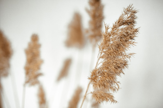 Reed branches on a white background